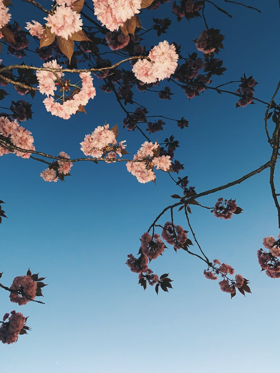 Branch of a tree with pink blossom against a blue sky